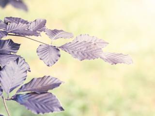 обои Ветвь листьев с сиреневым оттенком фото
