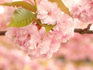обои Розовое цветение весны фото