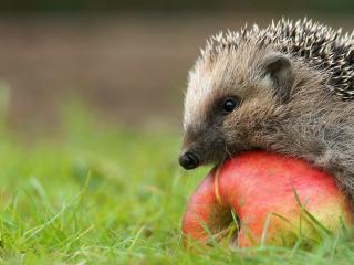 обои Ежик на яблочкe краснобоком фото