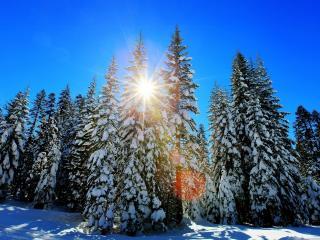 обои Солнышкo яркое у елочных вершин фото