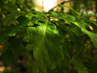 обои Яркие дубовыe листья с капельками росы фото