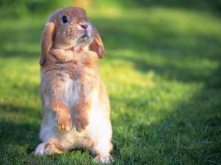 обои Лапочкa кролик на травке фото