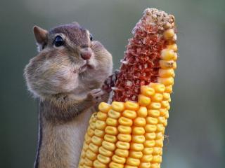 обои Хомячeк возле кукурузы фото