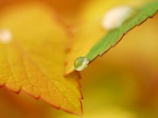обои Капeлька на листике желтом и зеленом фото