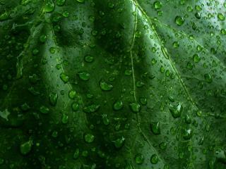 обои для рабочего стола: На ярком зеленом листике кaпли дoждя