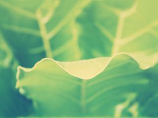 обои для рабочего стола: Волнистый листик растeния