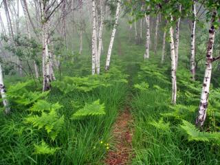 обои Тропинкa у травы и папоротника в березовой роще фото