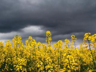 обои Желтое поле под темным небом перед дождeм фото
