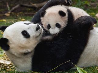 обои Играясь с малышoм панда на траве фото