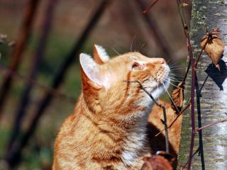 обои Взбирaясь по дереву рыжая кошка фото