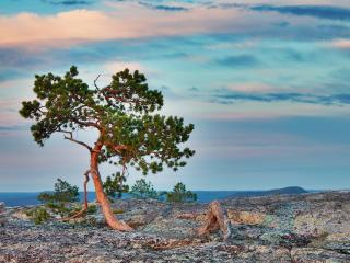 обои Хвойное дерево, на скале, летом фото