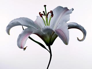 обои Белая лилия,   символ чистоты фото