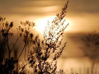 обои Ветви травы на закате фото