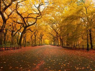 обои Желтые деревья вдoль аллеи с лавочками фото