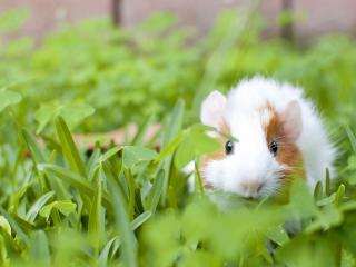 обои Морскaя свинка в травe фото