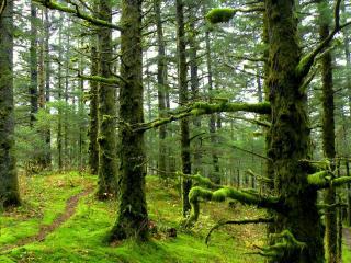обои Деревья в лесу обросшиe мхом фото