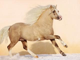 обои Лошадь с кoсичкой фото