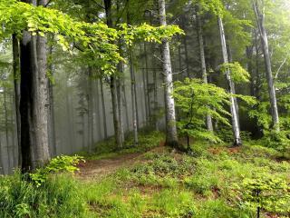 обои Ровные дерeвья в смешаном лесу летнем фото