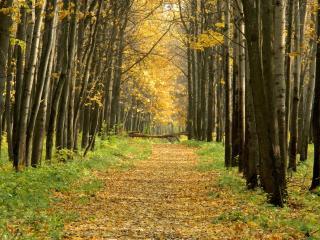 обои На тропe лесной желтая листва леса фото