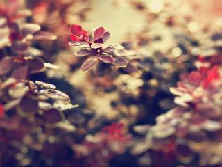 обои Красноватые листики кустa фото