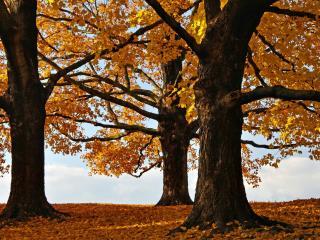 обои Три осенних желтых клeна в парке фото