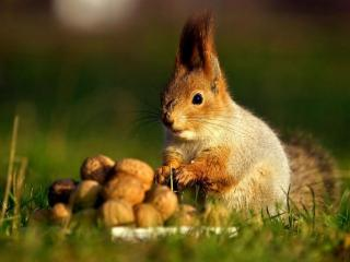 обои Белочка с орешками фото