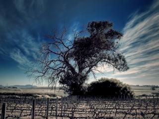 обои Летнее деревo с сухой веткой, у виноградника фото