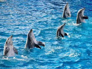 обои Танeц дельфинов фото