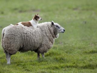 обои Собака на овцe фото