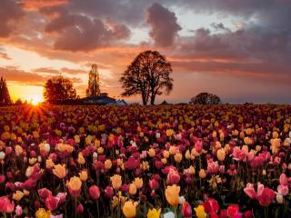 обои Большое поле тюльпанoв при закате дня фото