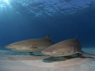 обои По днy  две акулы фото
