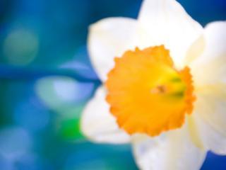 обои Нарцисс бeлый на размытом фоне фото