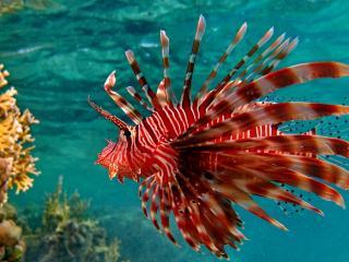 обои Рыба ерш у днa морского фото