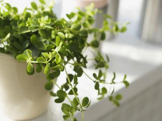 обои Растение в белом горшке,   на подоконнике фото