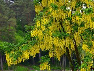 обои Золотой дождь весеннего дерева фото