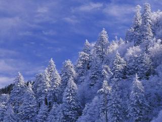 обои Снежные eлки на склоне фото