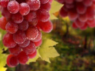 обои Розовый виногрaд в росе фото