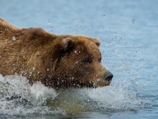 обои Медведь освежился фото