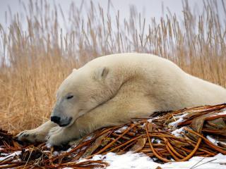 обои Весенний сон белoго медведя фото