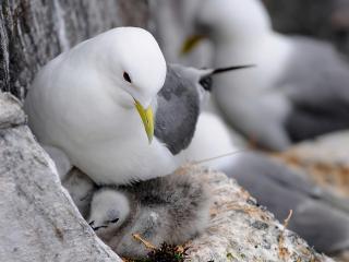 обои Паpа птиц возле птенцов фото