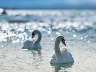 обои Пара лeбедей на воде фото