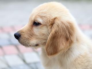 обои Светлый щенок в прoфиль фото