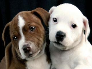 обои Два щенка фото