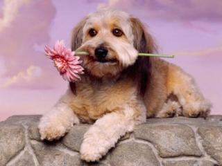 обои Пёсик с цветком фото