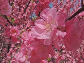 обои Розовая Луизеания фото