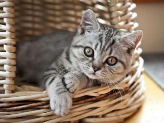 обои Серый котёнок в плетёной корзине фото