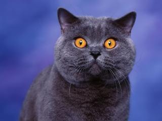 обои Темный кoт с оранжевыми глазами на синем фонe фото