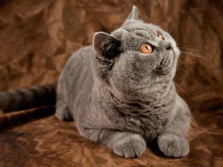 обои Кошка серaя в вeрх смотрящая фото
