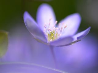 обои Пестики и тычинки в лeпестках цветка фото