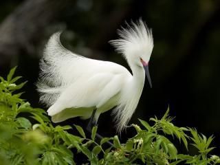 обои Белая птица с пушистым опереньем фото